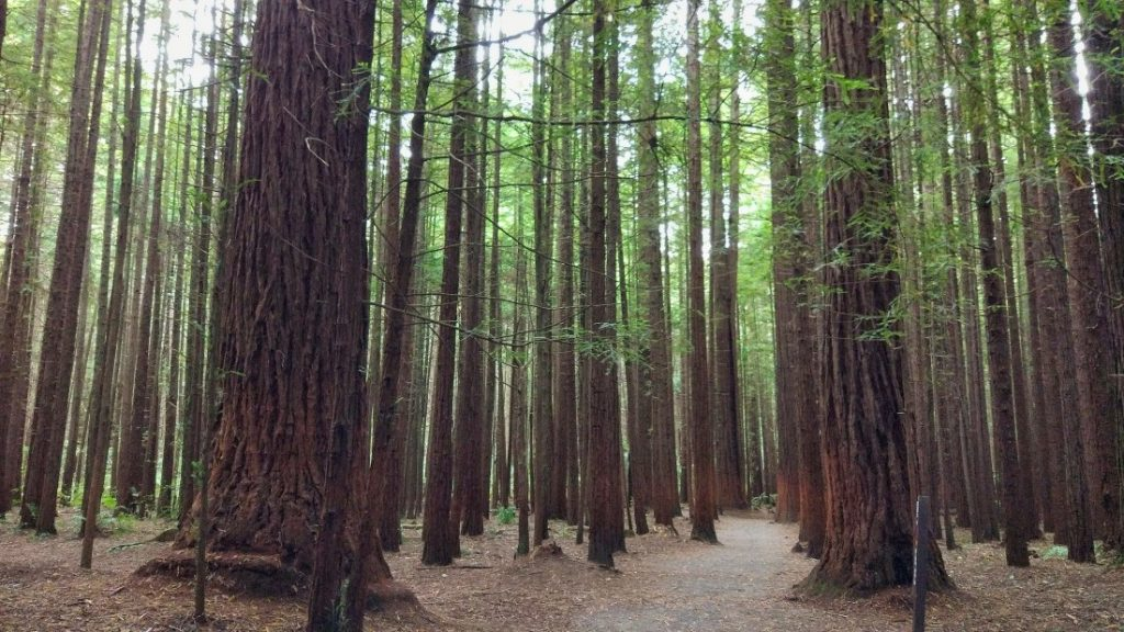 Trees at Redwood Forest in Rotorua New Zealand